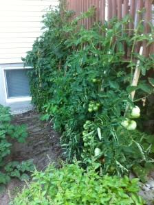 potager tomates bio