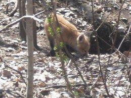 bébé renard qui joue près de sa tanière dans le bois derrière la maison