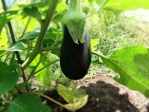 aubergine du potager