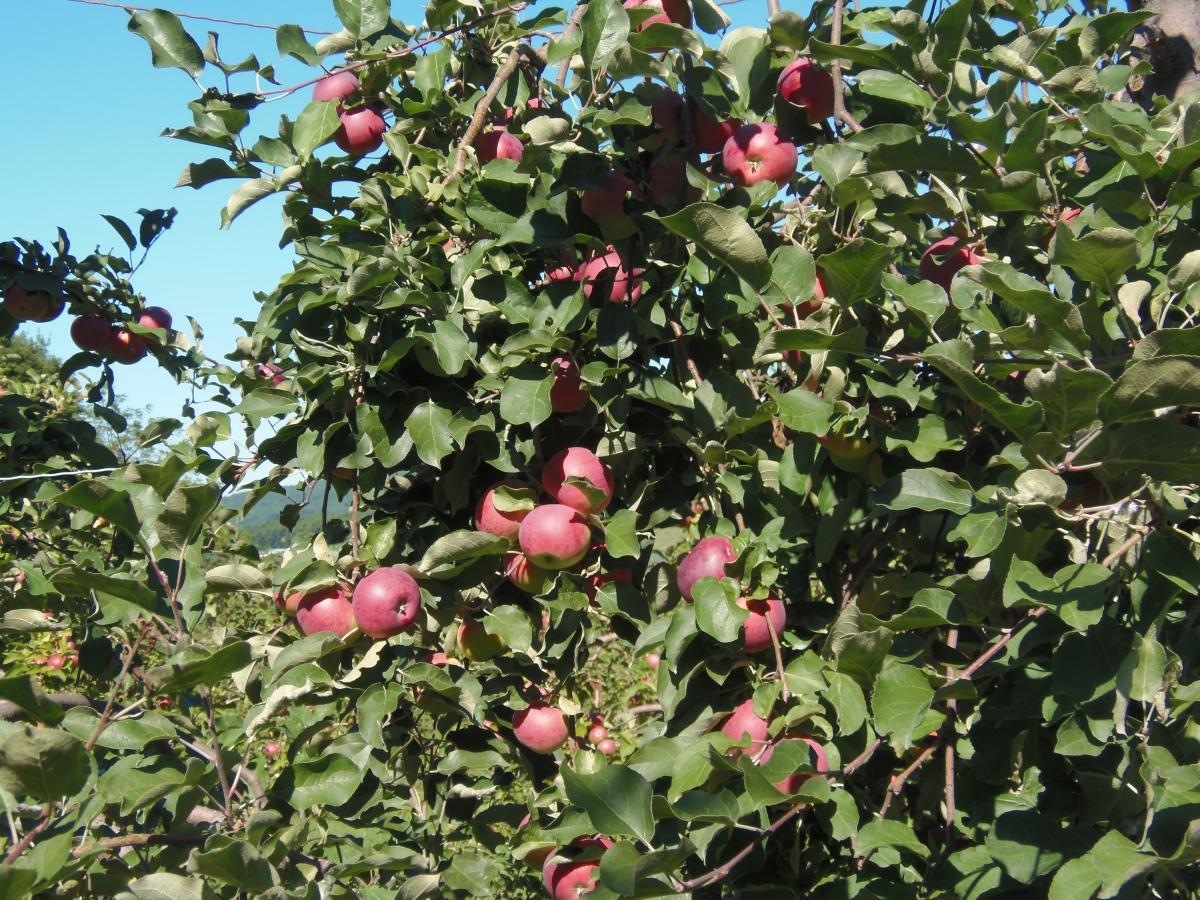 croustade aux pommes vegan