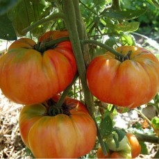 old-german-heirloom-tomato-seeds-old-german